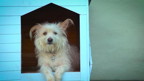 Cute,scruffy,white dog looking out of kennel