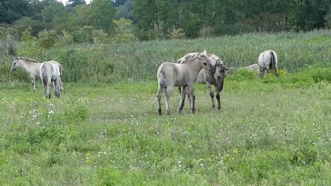 Two Konik horses pushing and caressing each other's neck in a playful manner