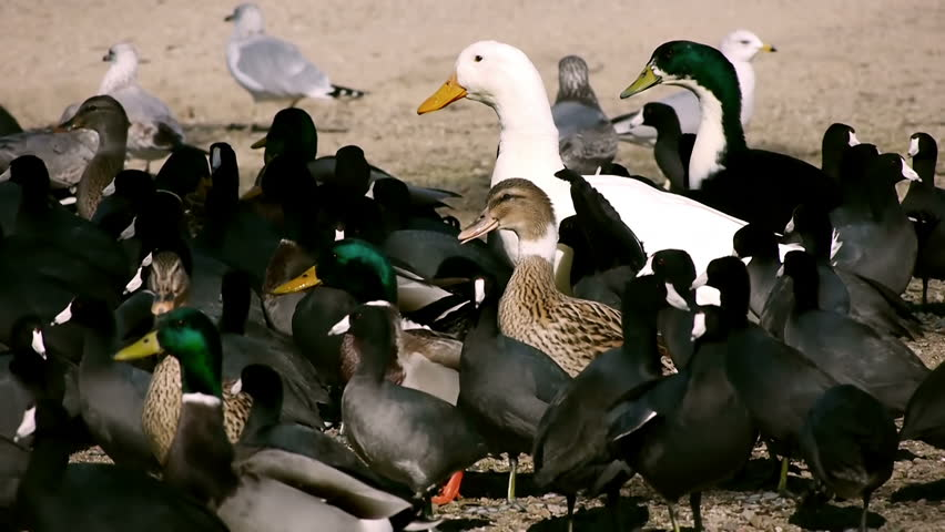 Seagulls And Geese | Shutterstock HD Video #1883068