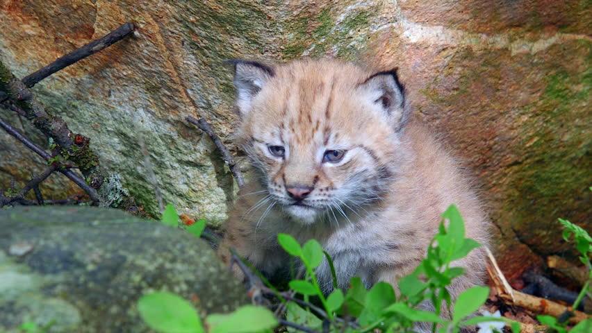 eurasian lynx cub in beautiful light slowly zoom in