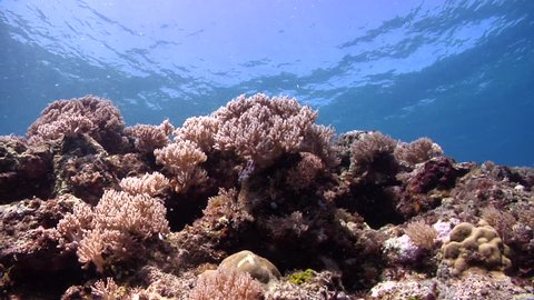 Ocean scenery nearly dead reef, only hydroids, soft corals and opportunistic fish left, environmental, dying, unhealthy, blast fishing, on very shallow reef and surface, HD