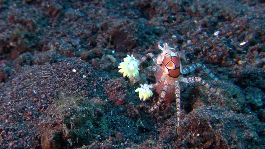 Boxer crab walking on black sand slope and muck, Lybia tessellata HD, UP29708