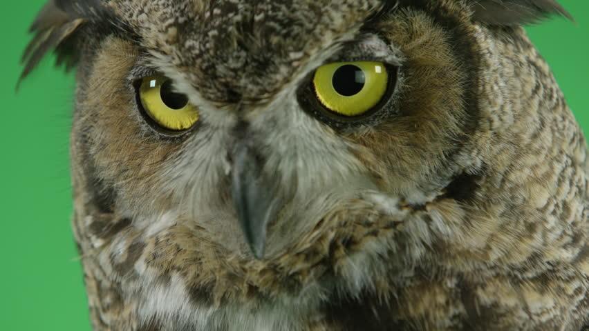 Great horned owl close up | Shutterstock HD Video #18981208