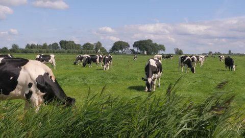 Black and white cows in a grassy field on a bright and sunny day in the Netherlands
