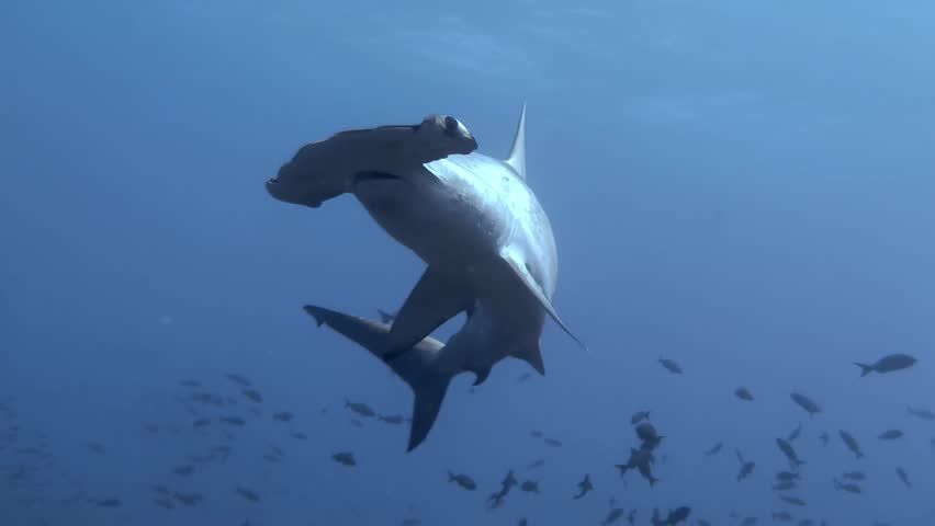 Scalloped Hammerhead shark in close range at Galapagos