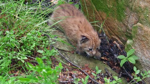 small eurasian lynx cub exploring ground in forest