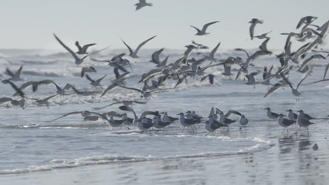 Flock of seagulls fly over ocean and beach in daytime. United States, Florida, Daytona Beach. Slow motion shot.