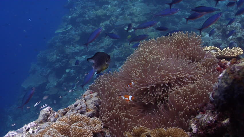 Clownfish swimming on shallow coral reef, Amphiprion percula HD, UP29150