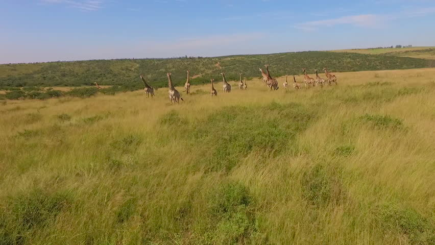 Stock video footage aerial view of the Savannah and giraffes | Shutterstock HD Video #19255078