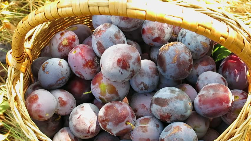 Basket with plums. Blue plums poured into the basket. Harvesting of plums. Waxy coating on plums. Close up plums