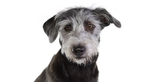 Closeup video of shaggy gray mixed breed looking around with concerned expression and shifting eye position