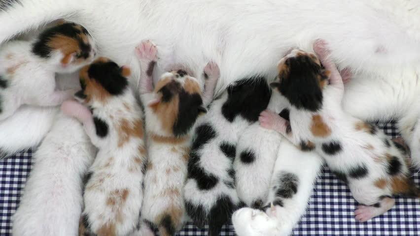 Cat breast milk