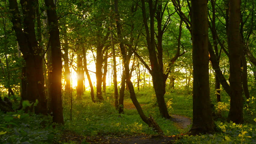 Sunset beams through trees in forest #19403098