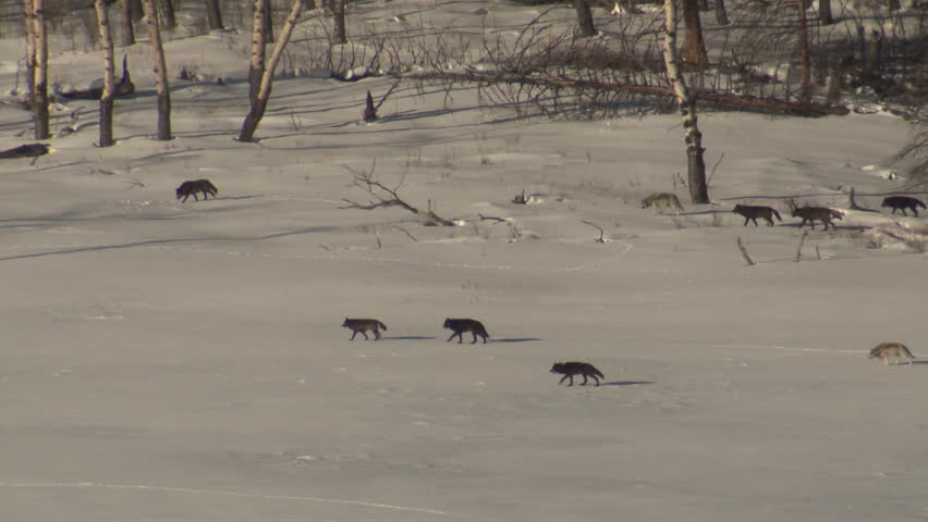 Wolf Adult Immature Pack Wolves Wolfpack Walking Moving Hunting Winter Black Gray Color Phase. Yellowstone National Park, Wyoming, USA - December, 2015   Shutterstock HD Video #19413172