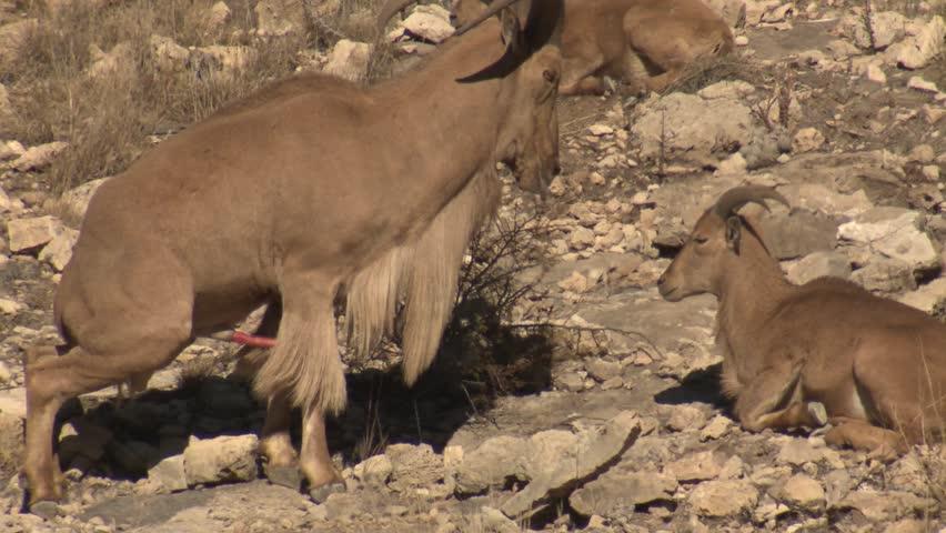 Barbary Sheep Male Female Ram Stock Footage Video 100 -6979