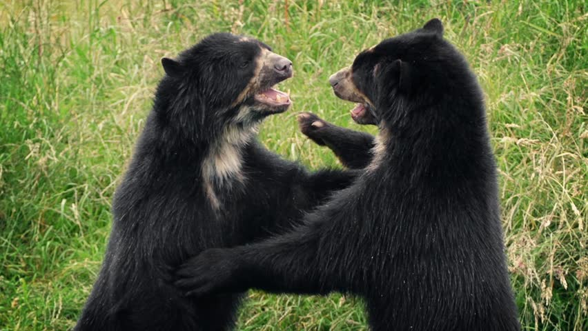 Bears Fighting In Wild Grassland