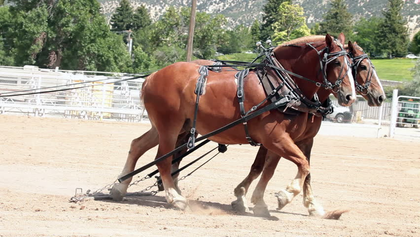 MANTI, UTAH - AUG 11: Draft horse team working with teamwork getting ready to pull heavy sled in county fair competition on August 11, 2011 in Manti, Utah.
