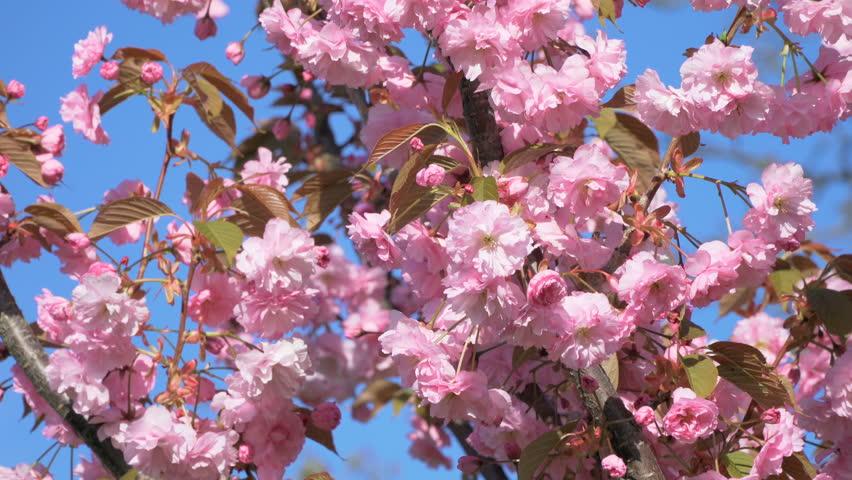 Cherry blossom spring flower sakura tree background Japanese sakura cherry tree blossom pink spring flower background  Japan cherry tree branch sakura blossom blue sky background Cherry spring blossom