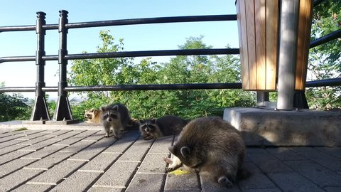 Raccoons in Mont-Royal