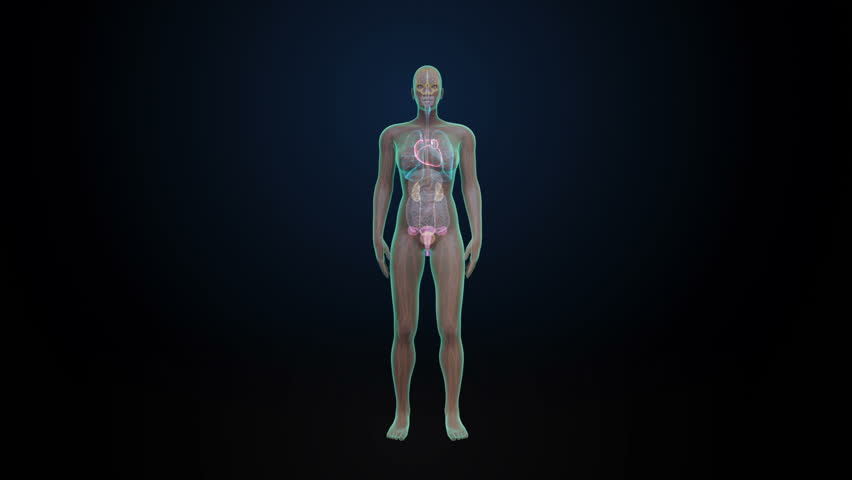 x-ray scan of full body human muscles, skeleton and organs anatomy, Muscles