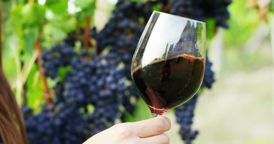glass of red wine poured directly in the vineyards during the harvest of black grapes. concept of organic and healthy . connection with the world of wine .