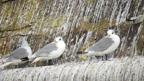 Female Seagull Bird Hatch a Stock Footage Video (100