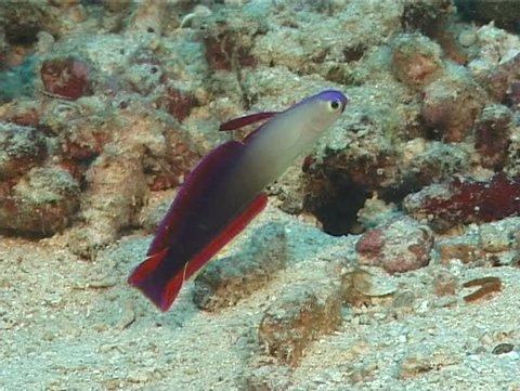 Decorated dartfish hovering, Nemateleotris decora, UP5938