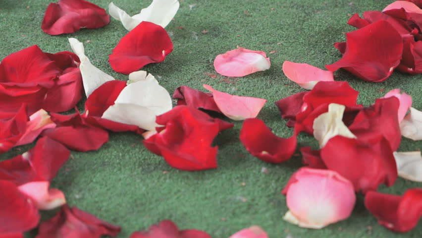 Red White Rose Petals Scattered Stock Footage Video 100