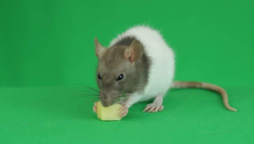 Rat eating cheeseon a green screen | Shutterstock HD Video #19597939
