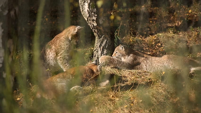 Three young Eurasian Lynx, also known as Northern Lynx or Lynx, playing around a tree in Autumn