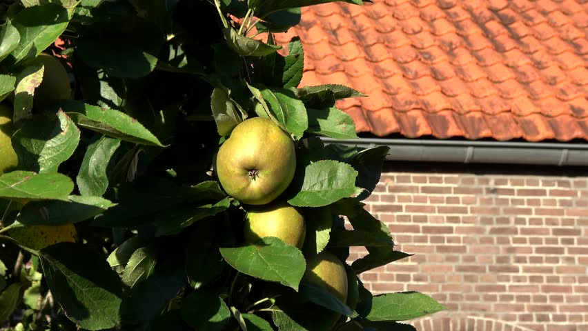 Apple tree and green apples hanging in the tree low hanging fruit almost ripe green colored also showing green leaves and next to it the orange warm color of house roof and walls unsharp 4k quality