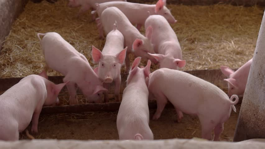Pigs eating from a trough. Piggies walk on straw. Queue up, please. Running out of food.
