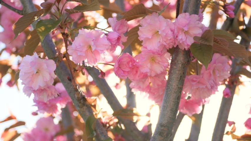 Spring flower cherry sakura tree branch blossom background pan Sun back lit pink white cherry tree branch sakura flower blossom background Cherry sakura tree flower blossom spring Cherry tree blossom