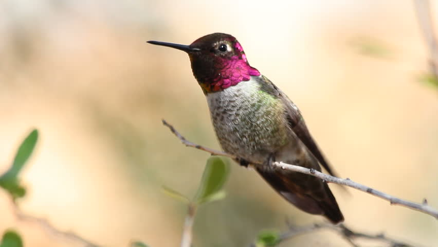 Hummingbird, perched on tree branch, tweets, preens, displays red iridescent plumage. 1080p #1971298
