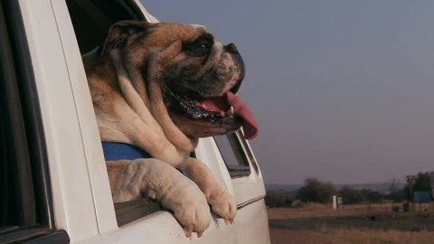 Slow motion shot of funny Bulldog enjoying a ride with its head out of a car window