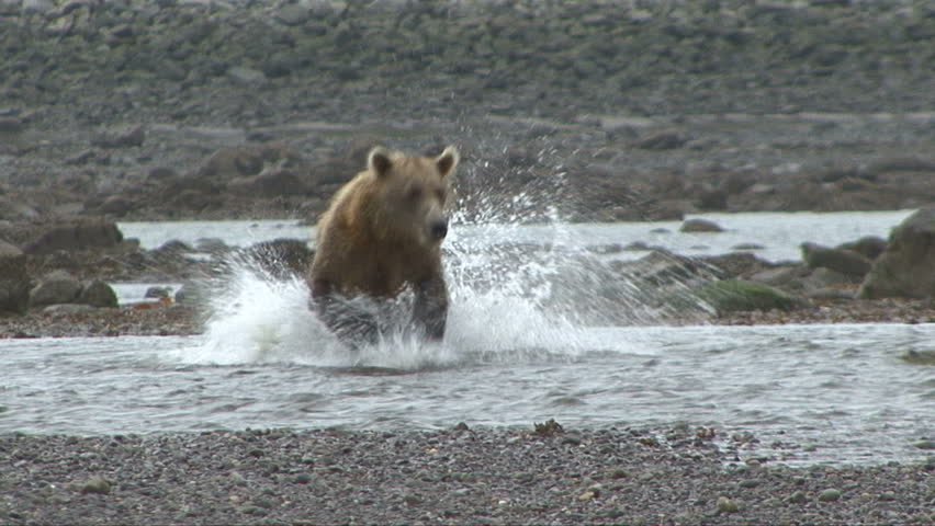 A Brown Bear desperately tries to catch salmon at Lake Clark, Alaska.