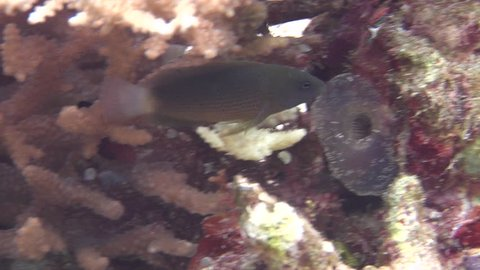 Brown dottyback swimming, Pseudochromis fuscus HD, UP19153