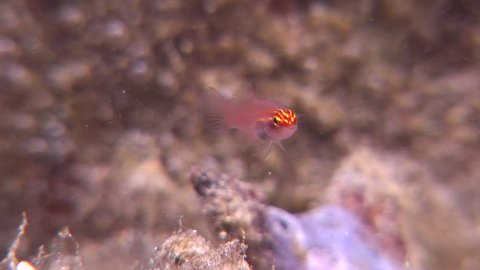 Neon dwarfgoby swimming, Eviota atriventris HD, UP18699