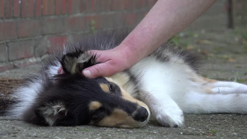 Hand stroking british collie puppy  | Shutterstock HD Video #19910350