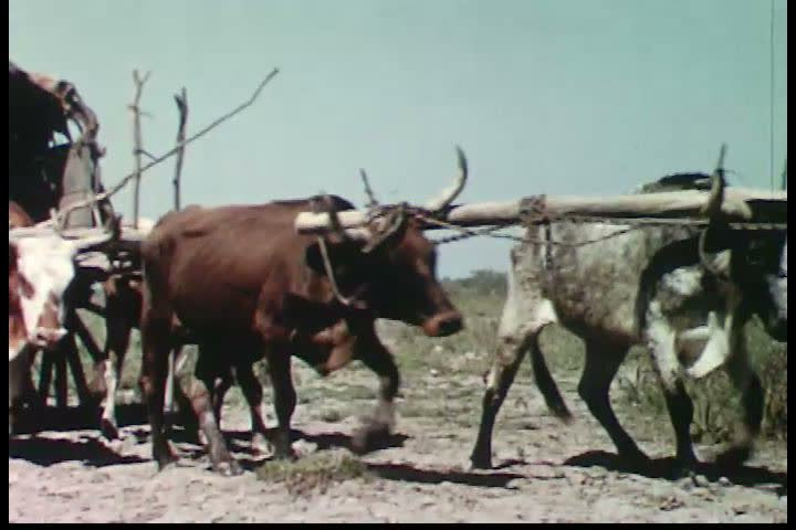 Paraguayan cowboys lead cattle across the region called El Chaco in 1958, a vast flatland with swampy grounds, with accompanying ox carts. (1950s) #19931698