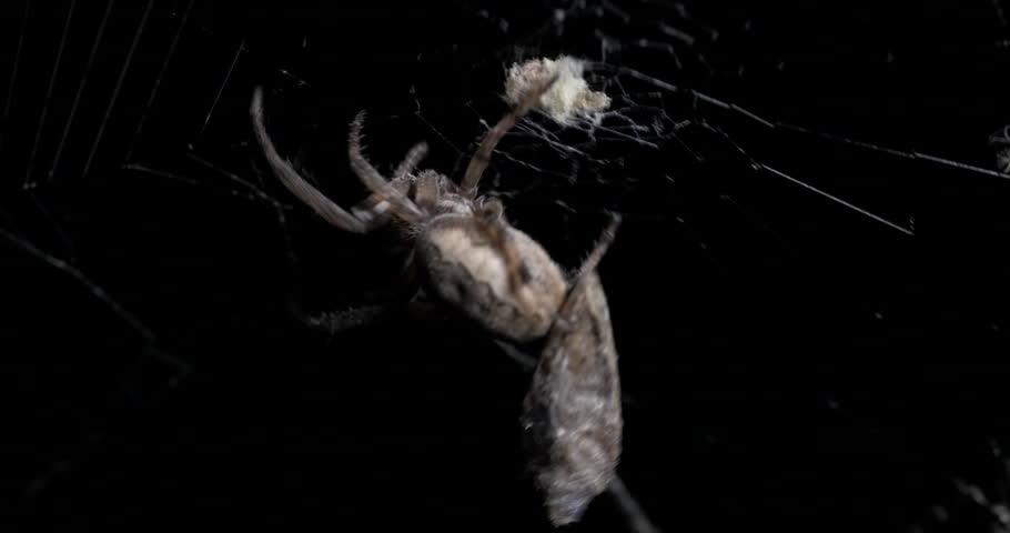 Orb-weaver Spider Catching Grey Moth in Spider Web Night 10bit, 4K