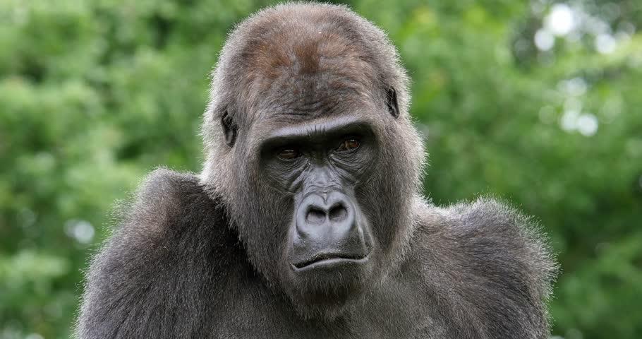 Eastern Lowland Gorilla, gorilla gorilla graueri, Portrait of Female, real Time 4K