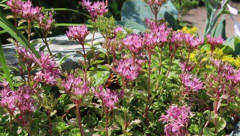 Sedum flowers bloom in the garden