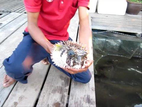 Pufferfish or Porcupinefish or Blowfish of Globefish or Balloonfish or Burrfish.