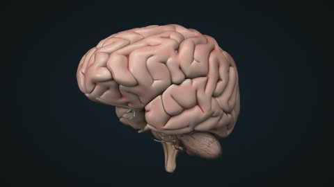 Realistic human brain. Loopable animation. Contains alpha channel.