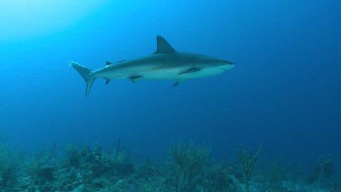 caribbean reef shark swimming at sun - Carcharhinus perezii)