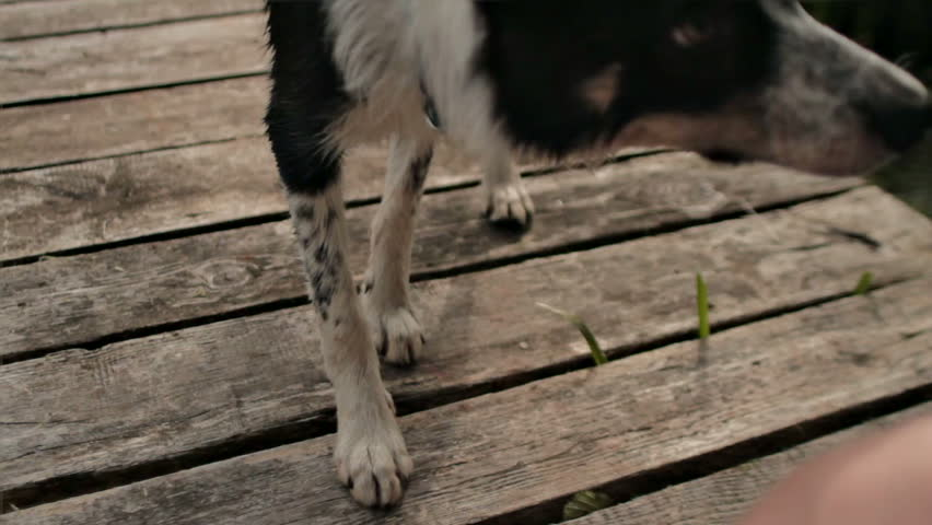 Perfect Dog Border Collie Performing Command   HD Stock Video Clip