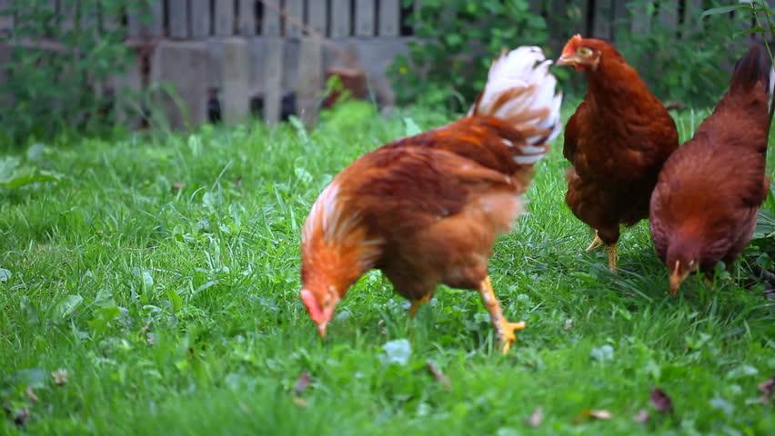 Chicken Poultry Eat On Green Video De Stock Totalmente Libre De