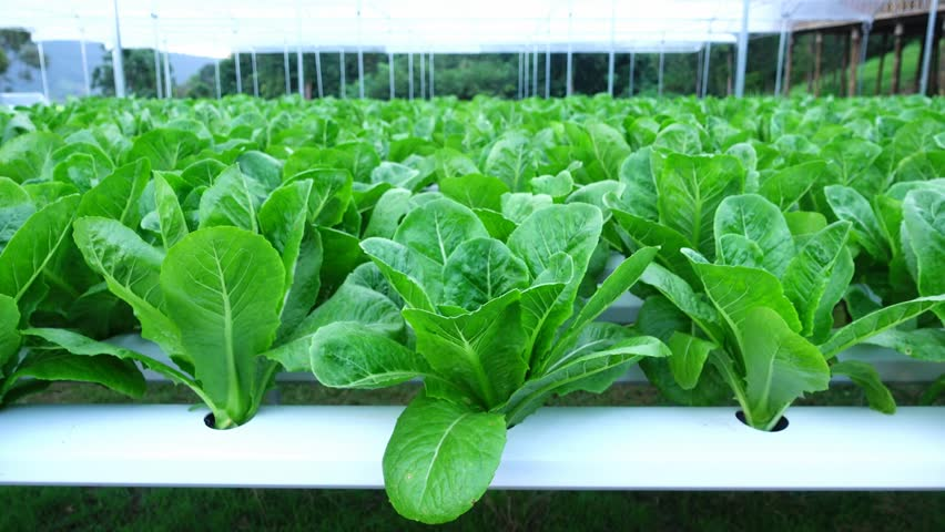 Hydroponic Vegetables Growing In Greenhouse, Thailand, Cos Lettuce