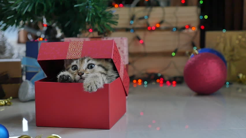 Cute tabby kitten playing in a gift box with Christmas decoration,slow motion | Shutterstock HD Video #20207578